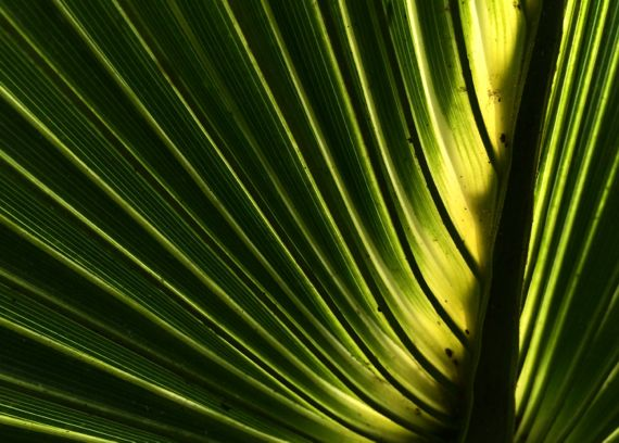 Palmetto frond backlit