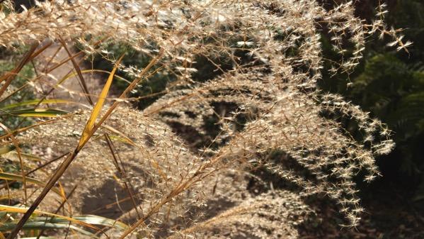 Pampas grass backlit