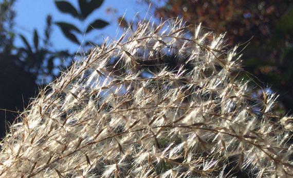 Pampas seedhead CU