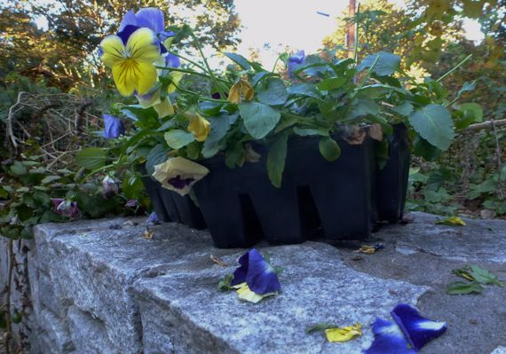 Pansies attacked by squirrel