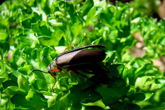 parsley_bug.jpg