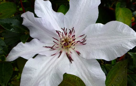 Passion flower autumn white