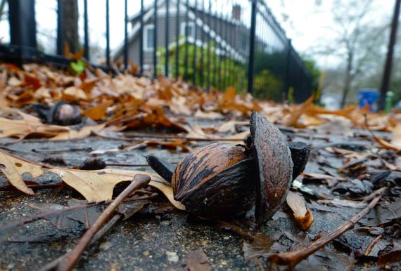 Pecan half in husk on sidewalk