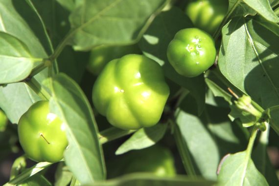 peppers_still_green_2010.jpg