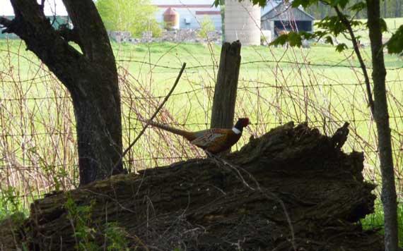 pheasant_poses.jpg