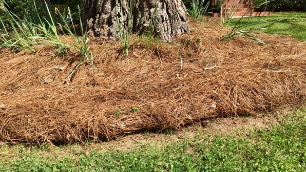 Pine straw detail