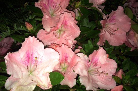 Pink azalea clusters