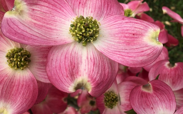 Pink dogwood bloom