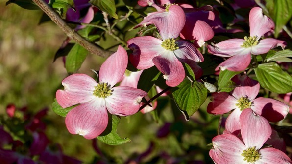 Pink dogwood many petals