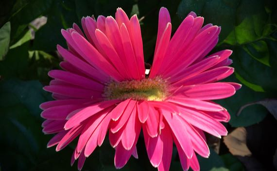 Pink gerber daisy bloom