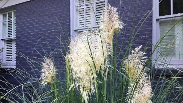 Plume grasses