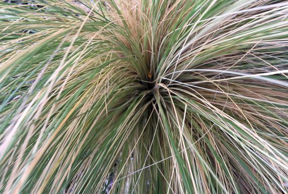 Ponytail grass