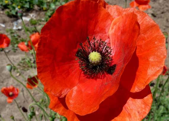 poppy_blowing_in_wind.jpg