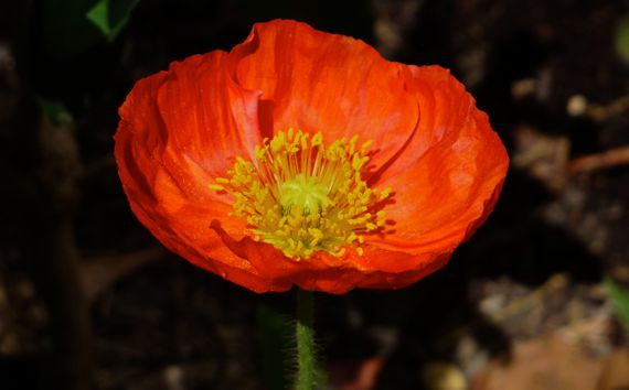Poppy glowing orange