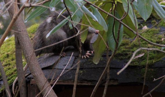 Possum toes