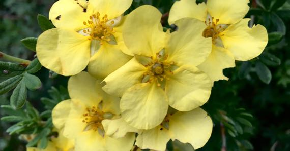Potentilla blossoms