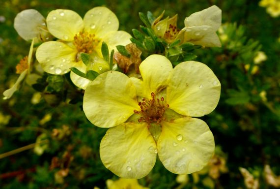 Potentilla with raindrops