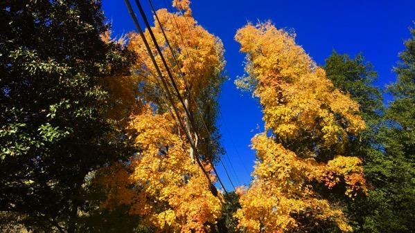 Power line pruned tree