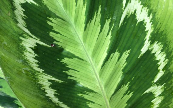 Prayer plant leaf CU