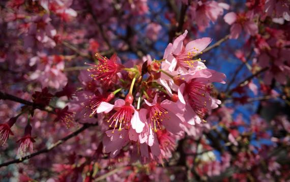 Prunus bloomus