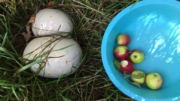 Puffball apples