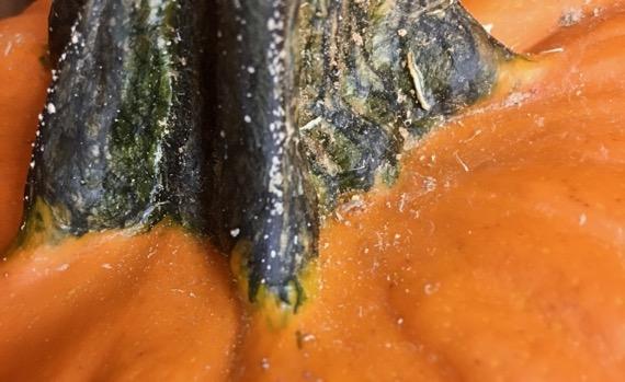 Pumpkin stem CU