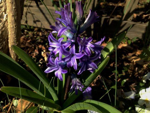 Purple hyacinth abloom