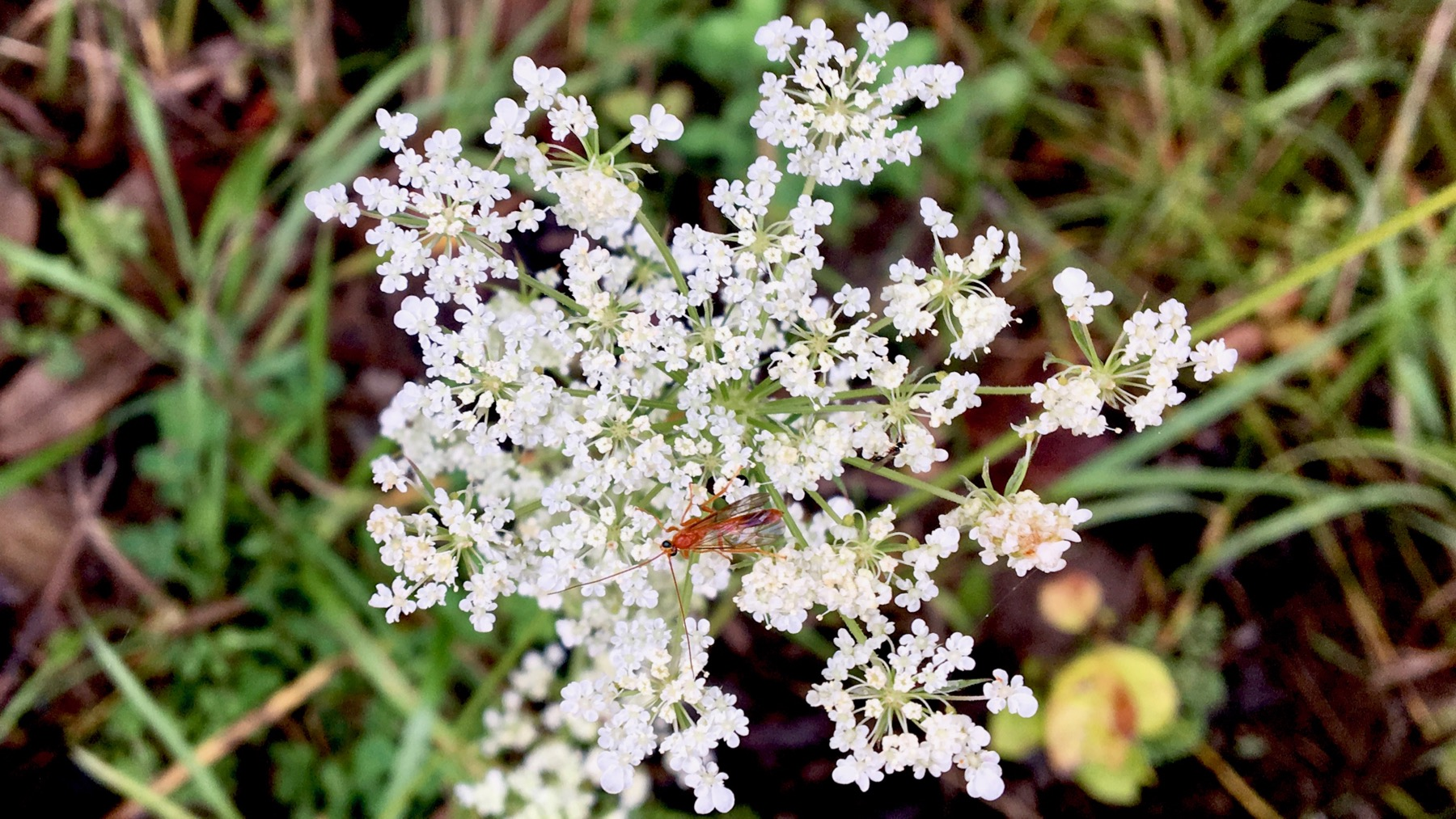 Queen annes lace n insect