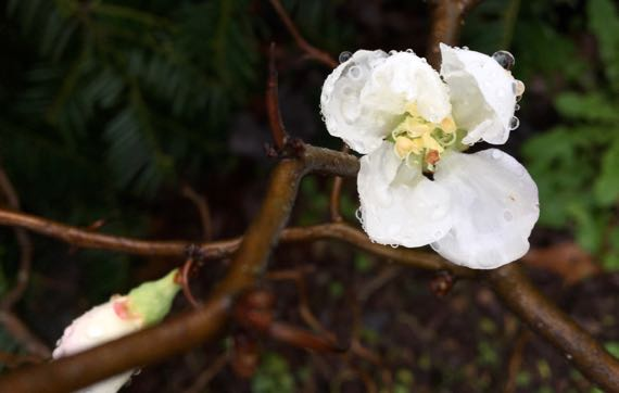 Quince bloom mostly open