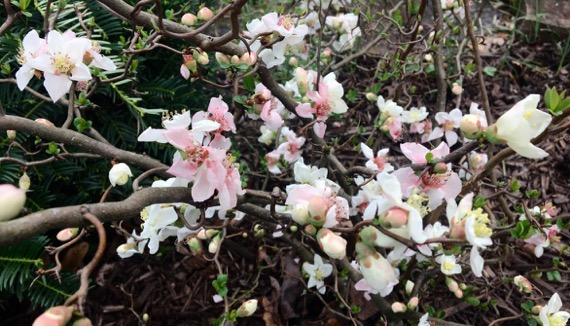 Quince blossom cloud