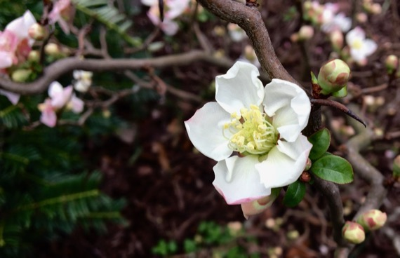 Qunice bloom