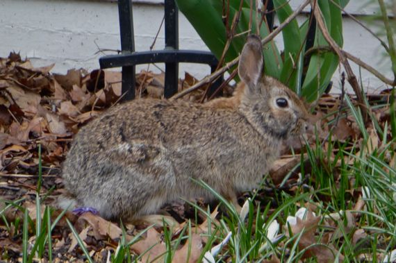 Rabbit in nern detroit suburb