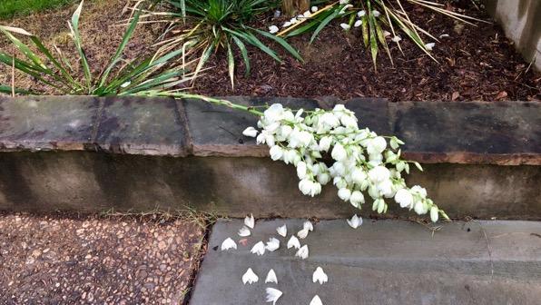 Rain downed yucca
