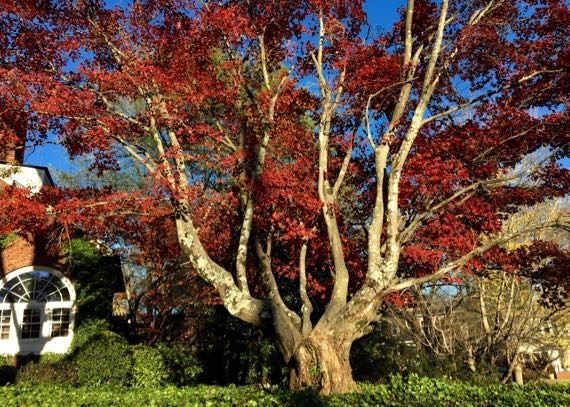 Red leaved tree