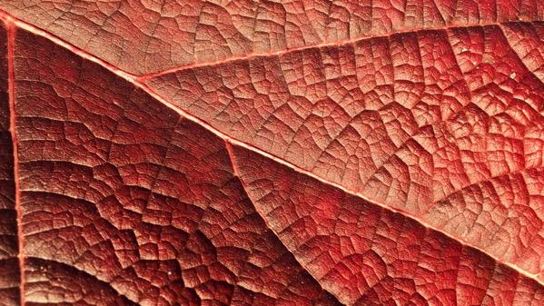 Red oak leaf hydrangea