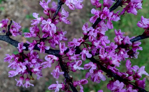 Redbud blooms perfect