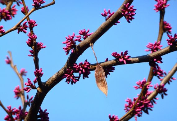 Redbud in bud with lone seed pod