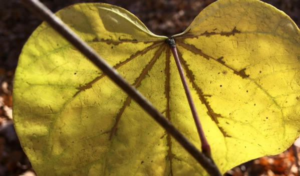 Redbud leaf autumn