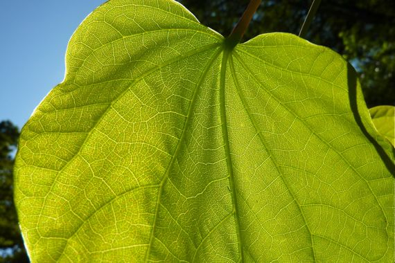 redbud_leaf_backlit_full_summer.jpg