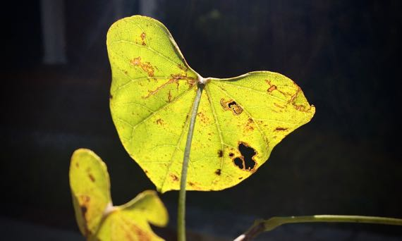Redbud leaf late season