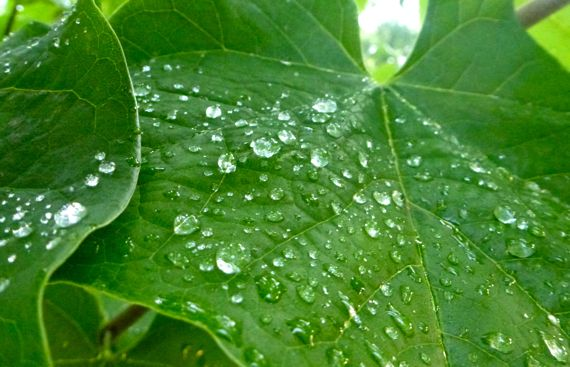 Redbud leaf with raindroplets