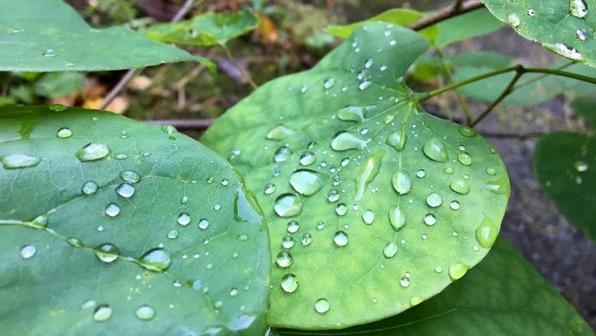Redbud leaves droplets
