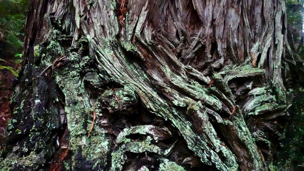 Redwood bark CU