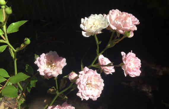 Restarea roses