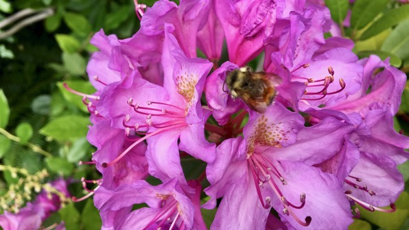 Rhodo really bumble