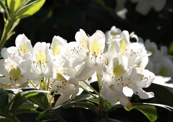 rhododendron_bloom_cluster_white_2010.jpg