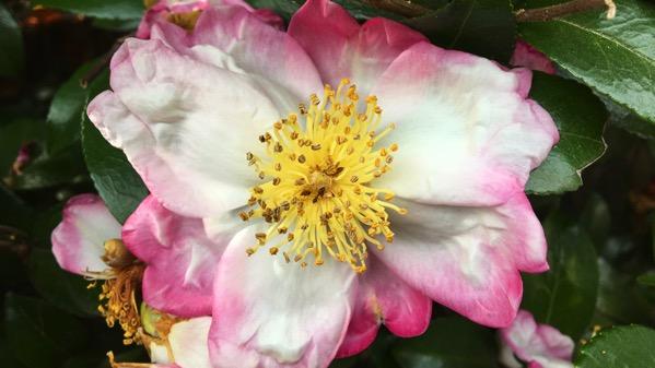 Rogue camellia