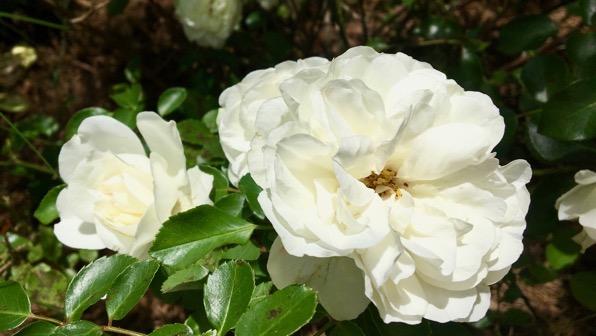 Rosa blanca blooms