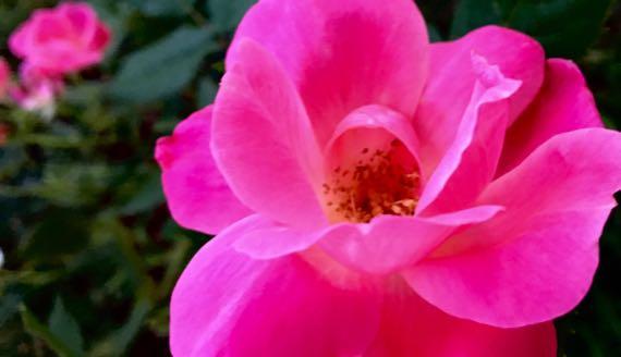 Rose brillian