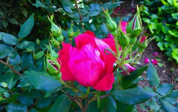 Rose cluster